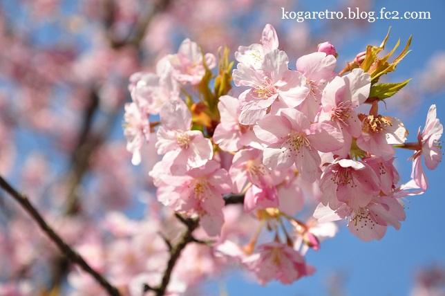 茨城県フラワーパークの河津桜4