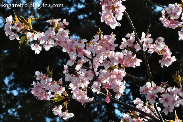 茨城県フラワーパークの河津桜5