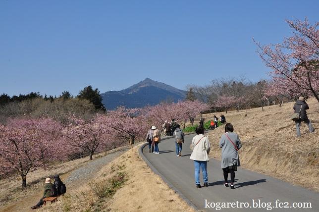 茨城県フラワーパークの河津桜6
