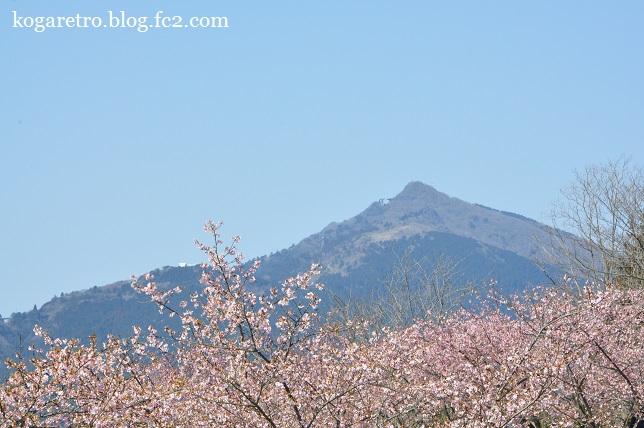 茨城県フラワーパークの河津桜7