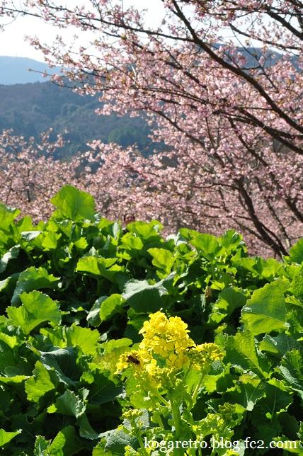 茨城県フラワーパークの河津桜8