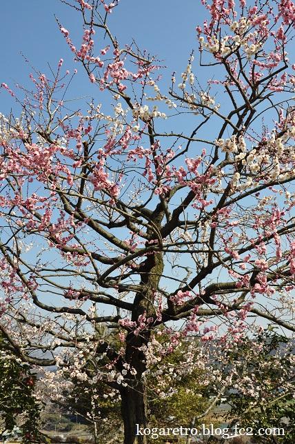茨城県フラワーパークの春
