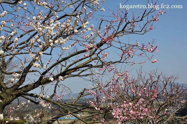 茨城県フラワーパークの春2