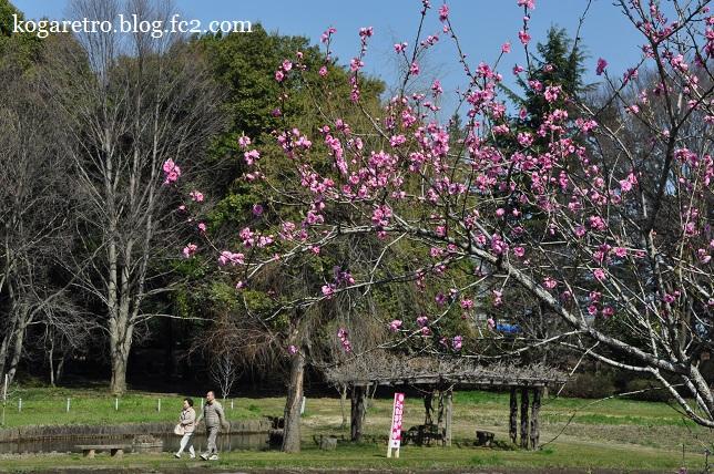 2016古河の花桃開花状況