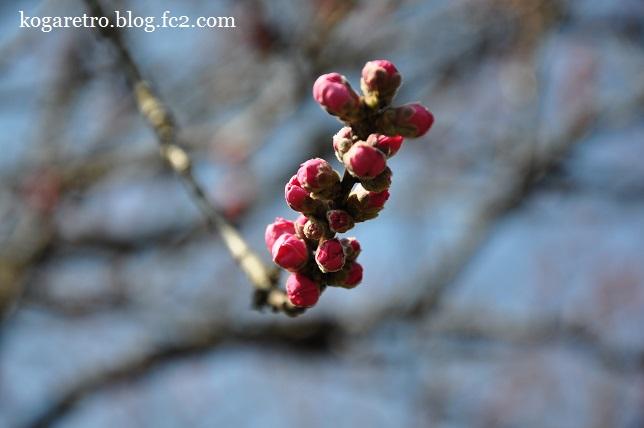 2016古河の花桃開花状況4