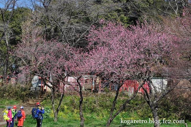 2016古河の花桃開花状況5