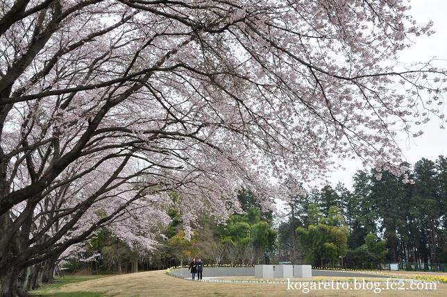 2016キョーリンの桜2