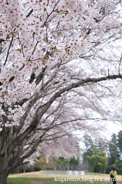 2016キョーリンの桜3