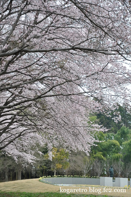 2016キョーリンの桜4