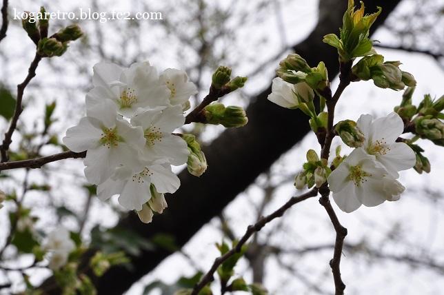 2016キョーリンの桜5