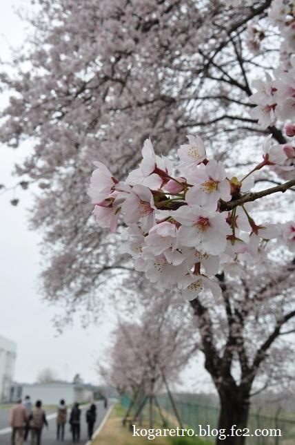2016キョーリンの桜6