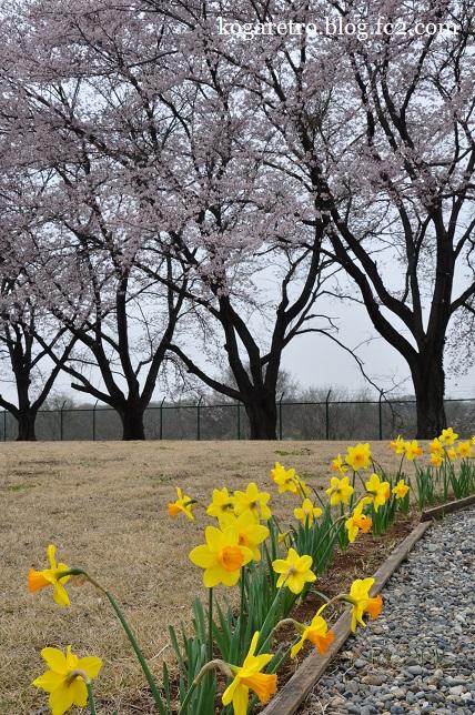 2016キョーリンの桜7