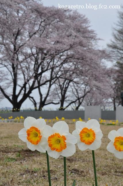 2016キョーリンの桜8
