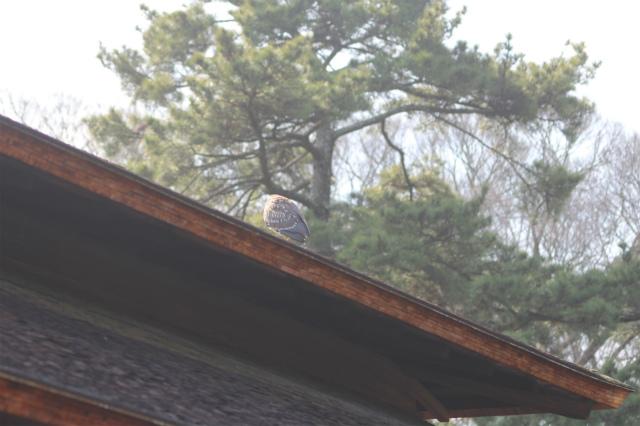 20160221ゴイサギ屋根