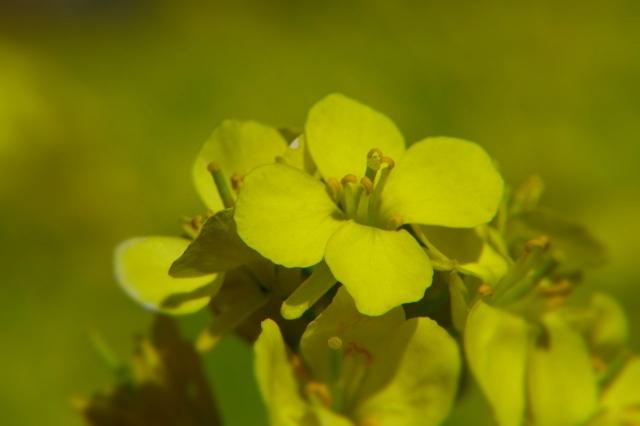 B20160322P_菜の花2_P1110613