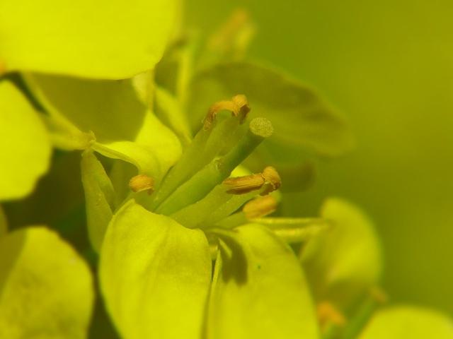B20160322P_菜の花2_P1110615