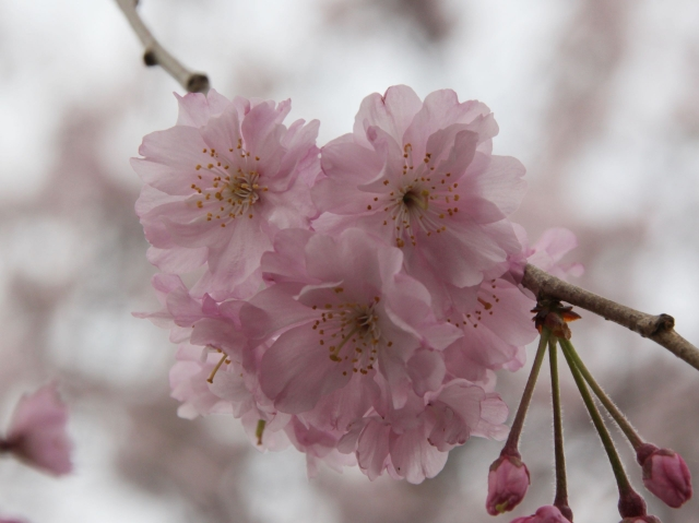 B20160402B_五条川桜拡大_IMG_3694