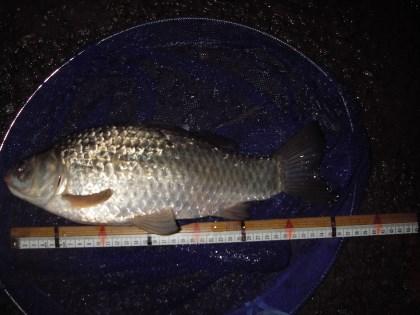 中川 マブナ 36cm