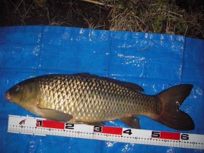 中川 鯉 65cmゴカイ