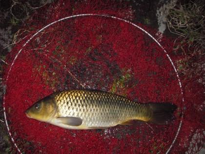 中川 鯉 50cmゴカイ