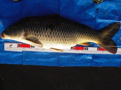 中川 鯉 87cm