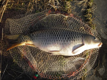 中川 鯉  84,5cm