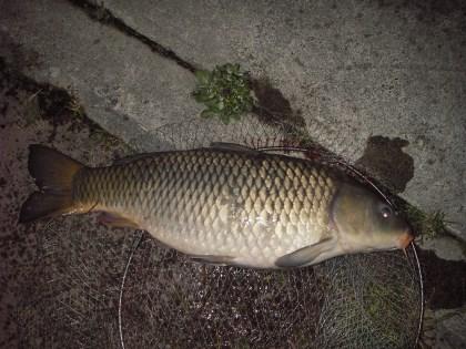 中川 鯉 78cm