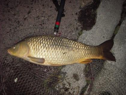 中川 鯉 72cm