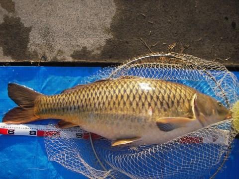 中川 鯉 96cm ゴカイエサ