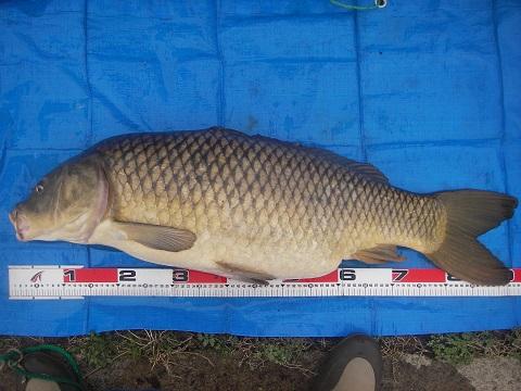 中川 鯉 90cm ソーセージ