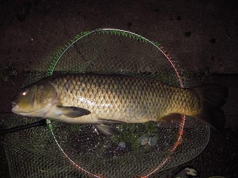 中川 鯉 80cm