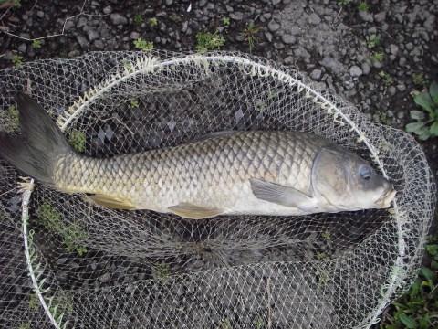 中川 鯉 63cm 鯉ヘルペスか