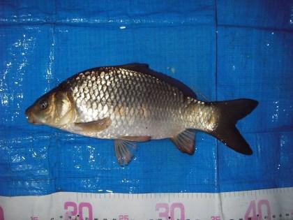 中川 鯉っ子 25cm