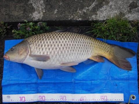 中川 鯉 65cm ダンゴ