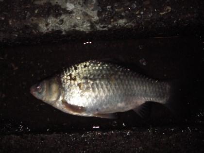 中川 半ベラかチビ鯉ベラ 33cm