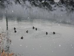 川浦川の鴨