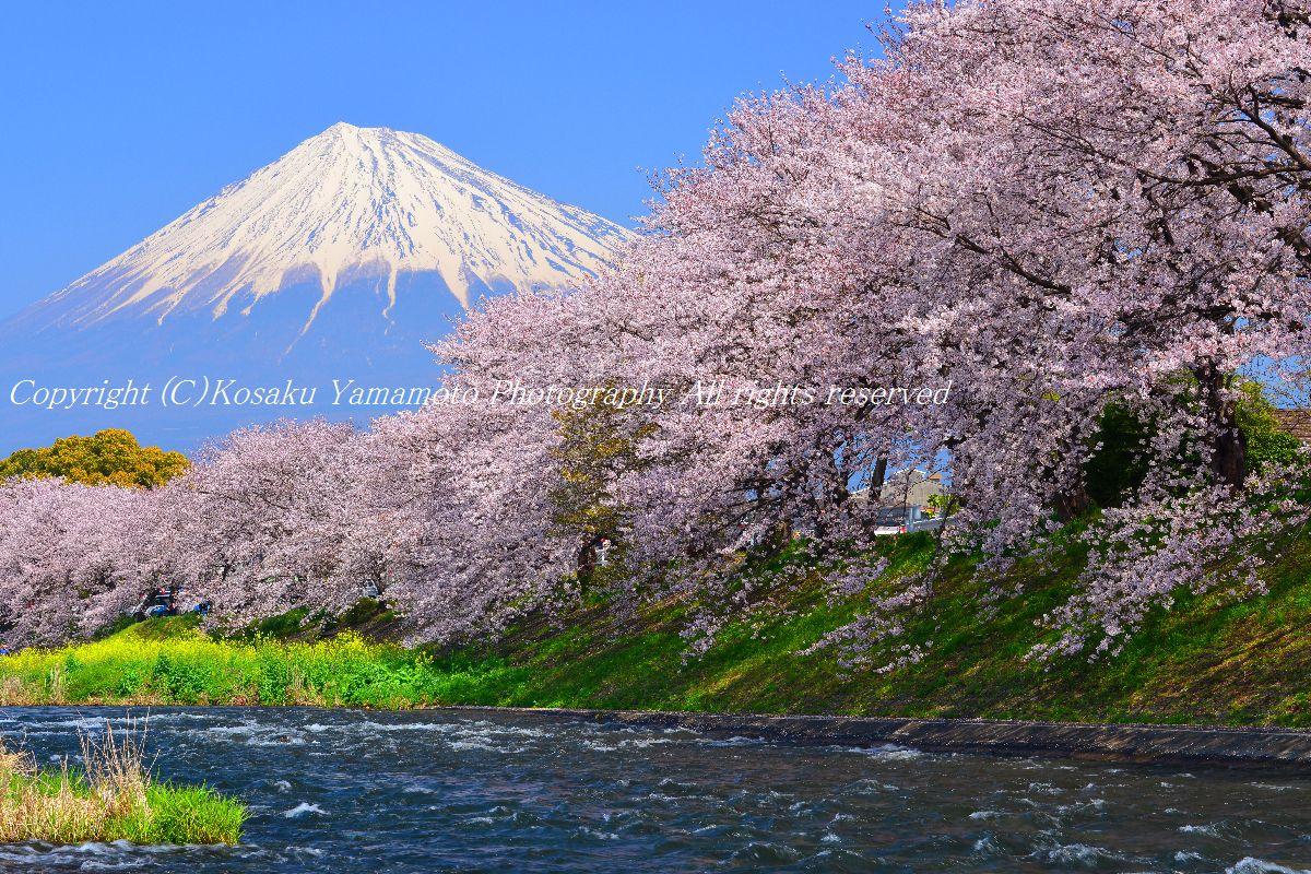 「春風渡る」 (静岡県富士市)