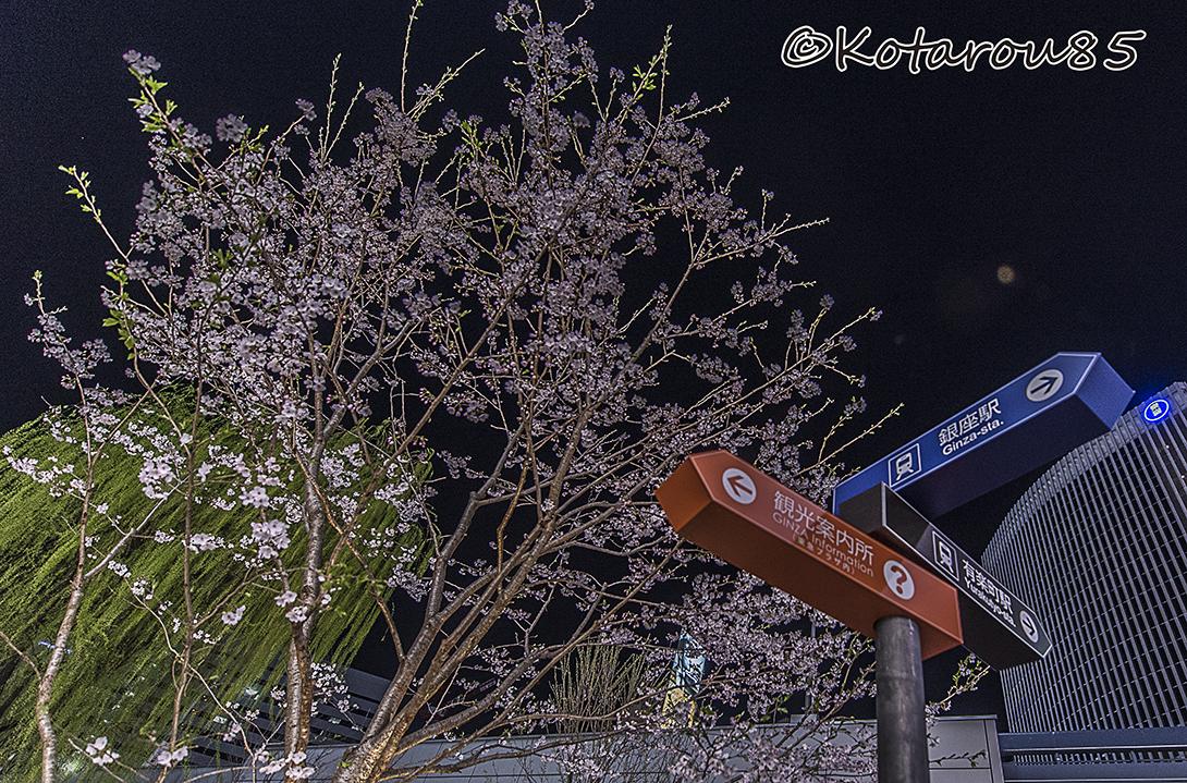 マリオン前の桜 20160331