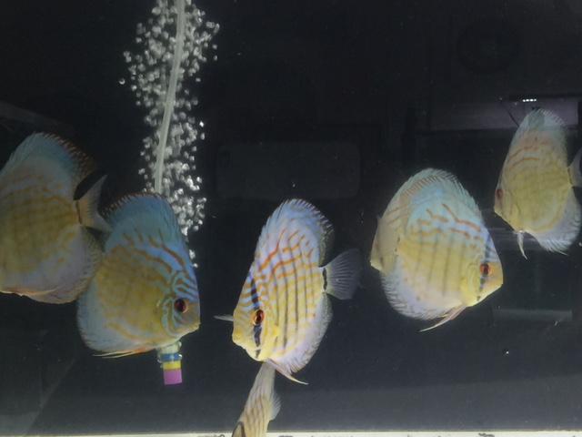 シルエットブルー若魚