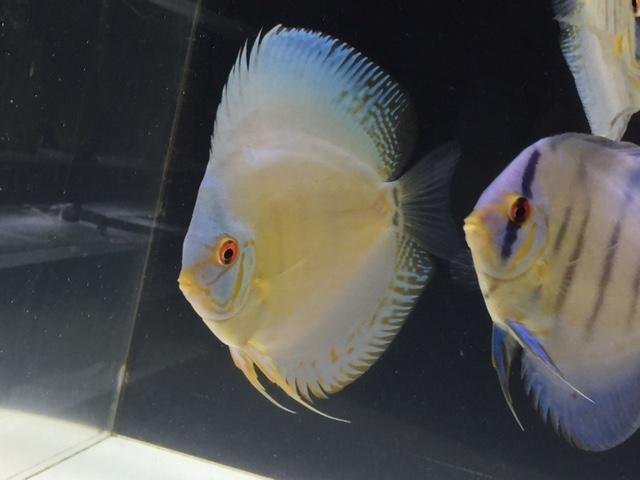 セイシェルブルー若魚1