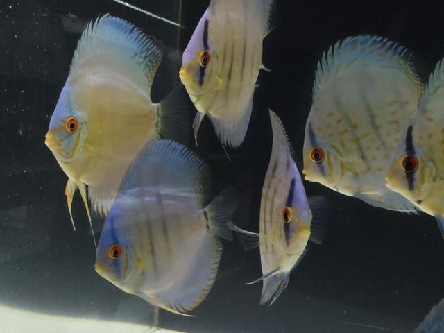 セイシェルブルー若魚3