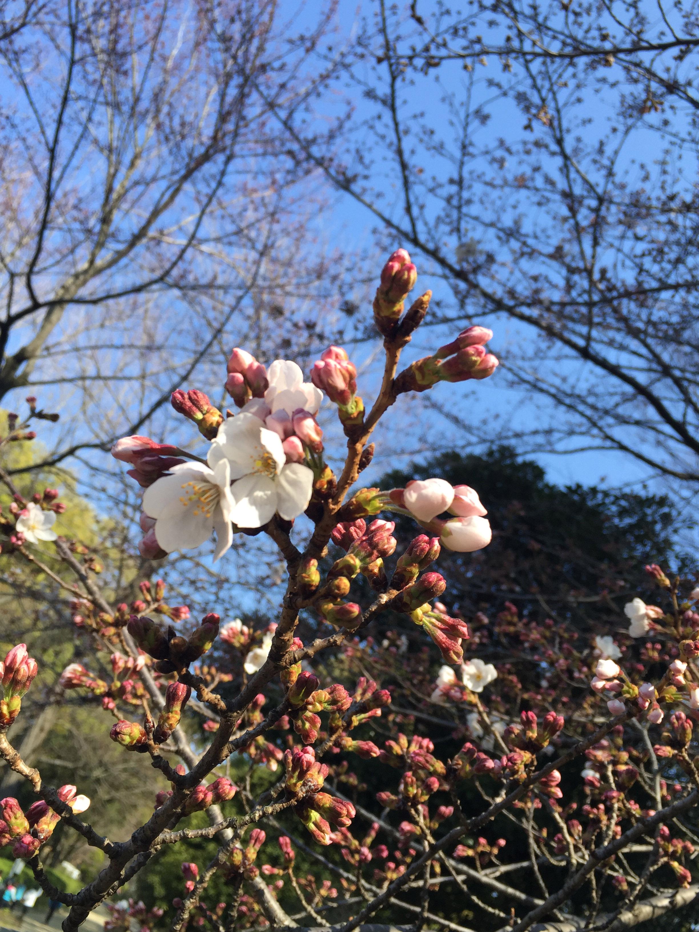 160401先週末の桜