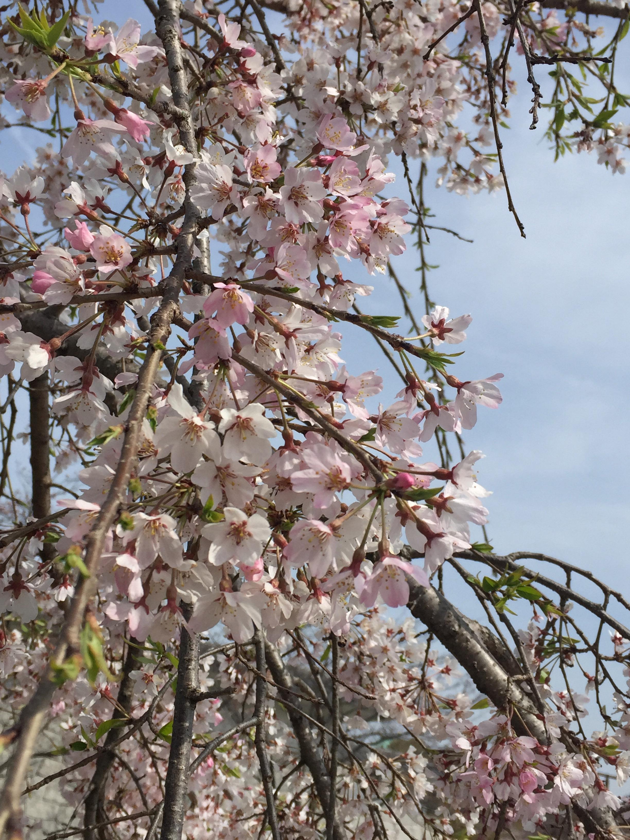 160401名城古木桜花