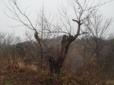 栗の木の剪定
