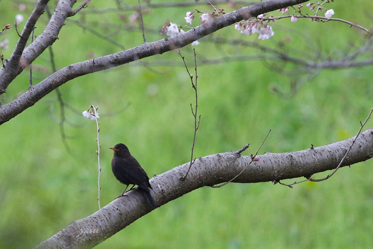 クロウタドリ桜yネ995A6818 -2