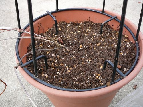 カシス 寒肥と土増し