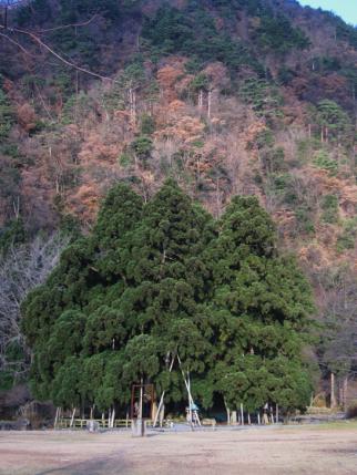御仏供杉-8
