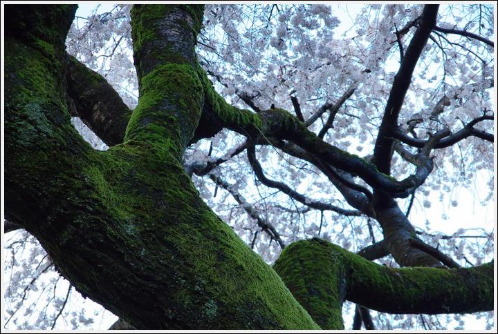 2016年4月2日 山中渓の桜 (2)