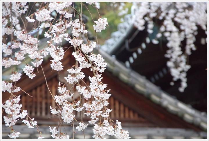2016年4月2日 山中渓の桜 (3)