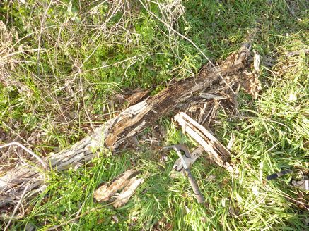 ヤナギの朽木